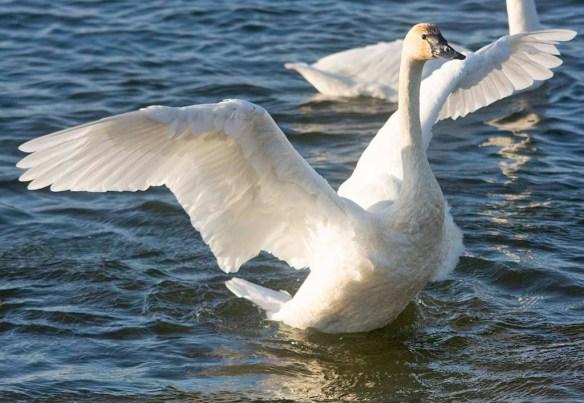 Tundra Swan 2019-98