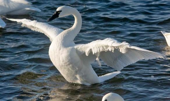 Tundra Swan 2019-99