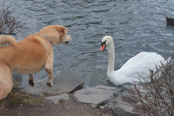 Mute Swan 2020-2
