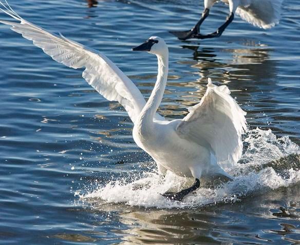 Tundra Swan 2020-5