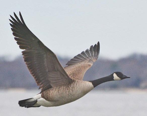 Canada Goose 2020-8