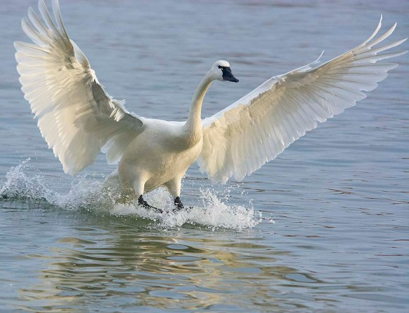 Tundra Swan 2020-26