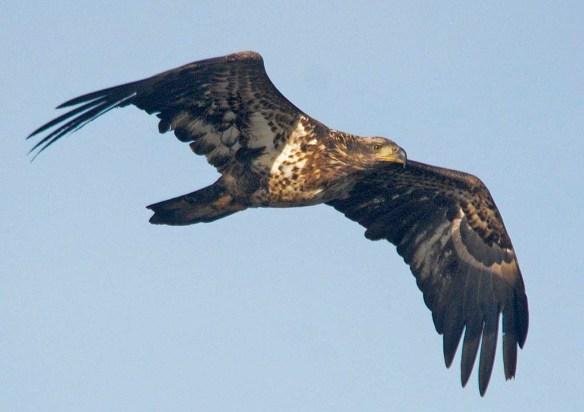 Bald Eagle 2020-4