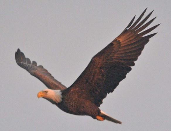 Bald Eagle 2020-5