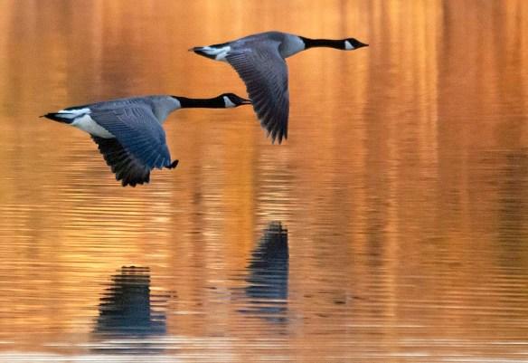 Canada Goose 2020-16
