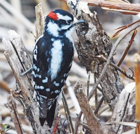 Downy Woodpecker 2020-1