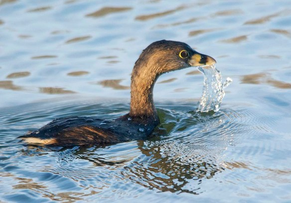 Pied Billed Grebe 2020-14