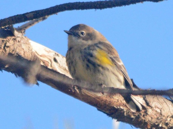 Yellow Rumped Warbler 2020-1