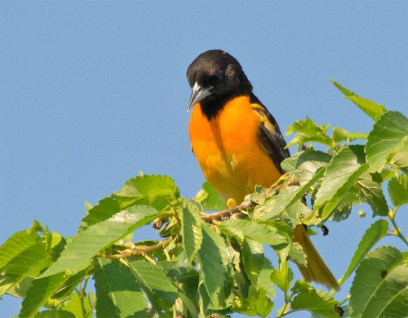 Baltimore Oriole 2016-19