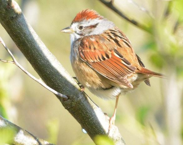 Swamp Sparrow 2020-1
