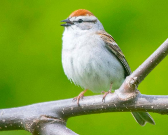 Chipping Sparrow 2020-5