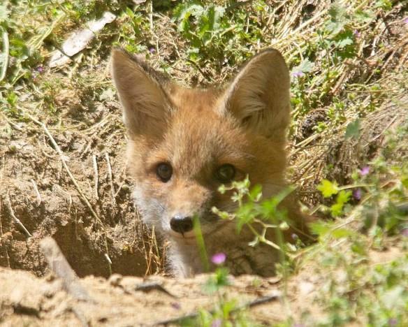 Fox 124
