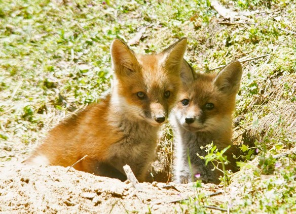 Fox 128