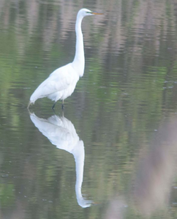 Great Egret 2020-1