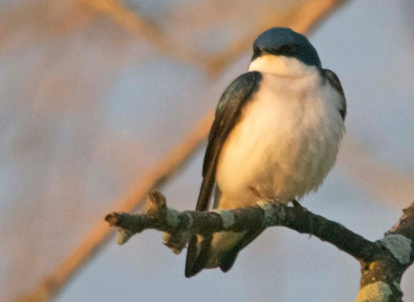 Tree Swallow 2020-9