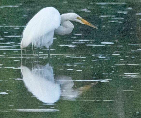 Great Egret 2020-132