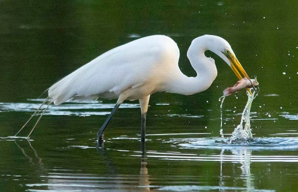 Great Egret 2020-136