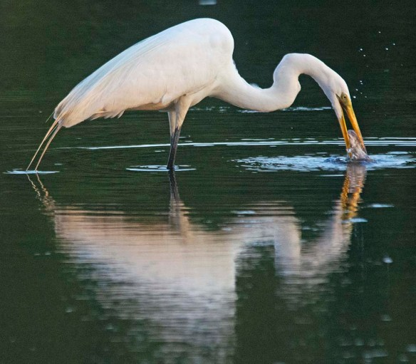 Great Egret 2020-137