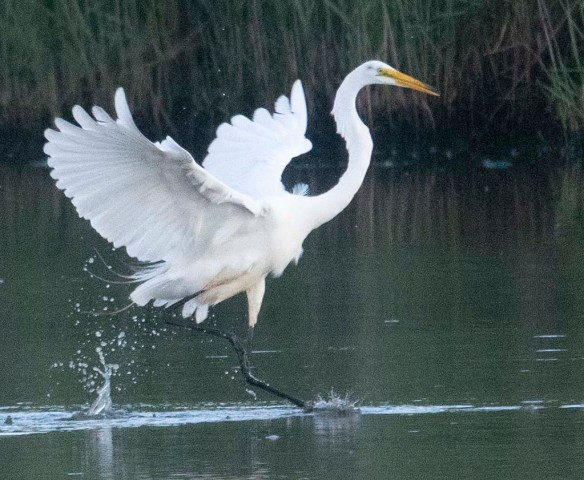 Great Egret 2020-140
