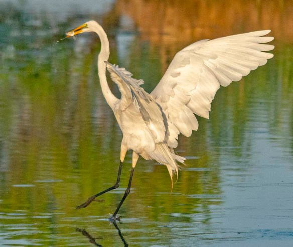 Great Egret 2020-142