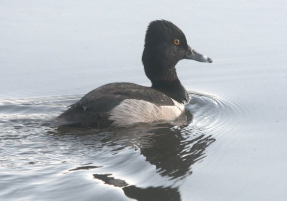 Ring Necked Duck 2020-102