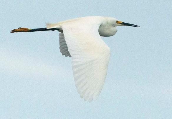 Snowy Egret 2020-107