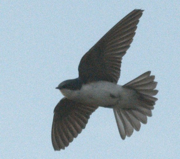 Tree Swallow 2020-118