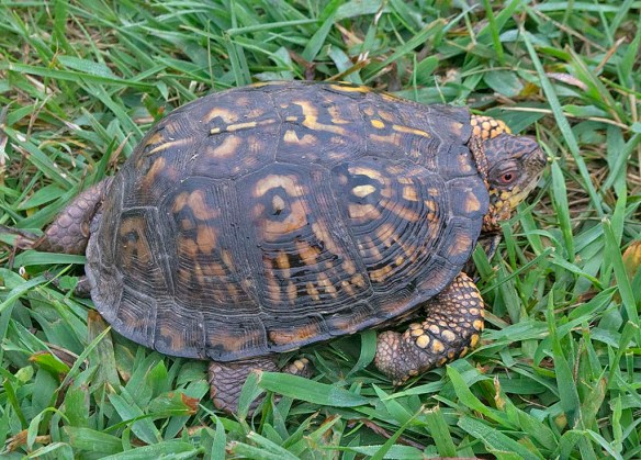Eastern Box Turtle 12