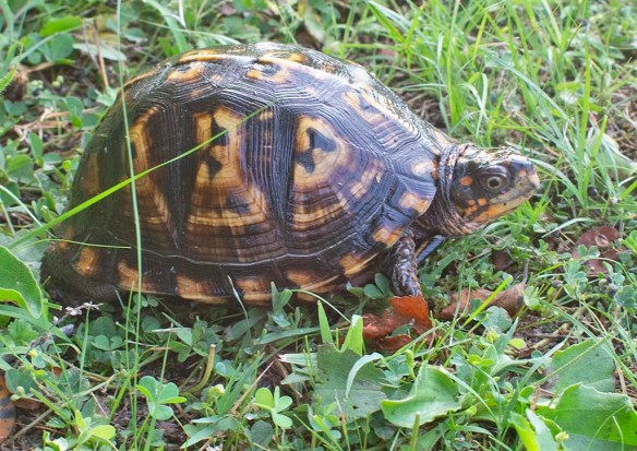Eastern Box Turtle 21