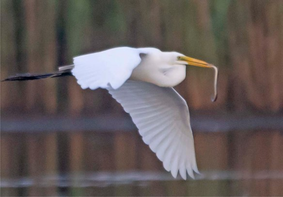 Great Egret 2020-177