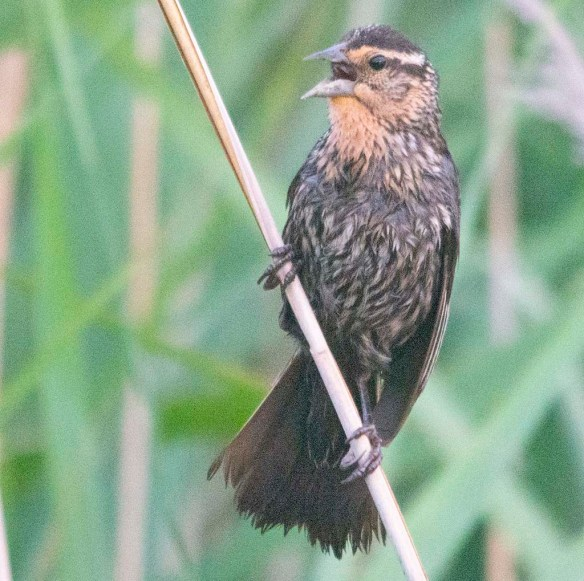 Red Winged Blackbird 2020-111