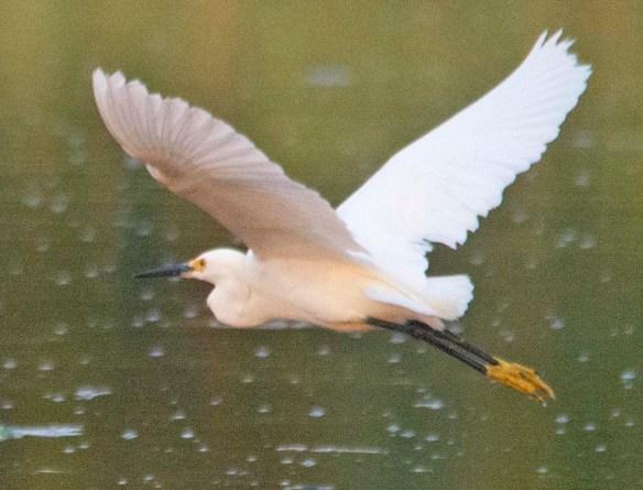 Snowy Egret 2020-116