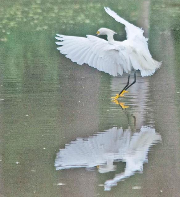 Snowy Egret 2020-145
