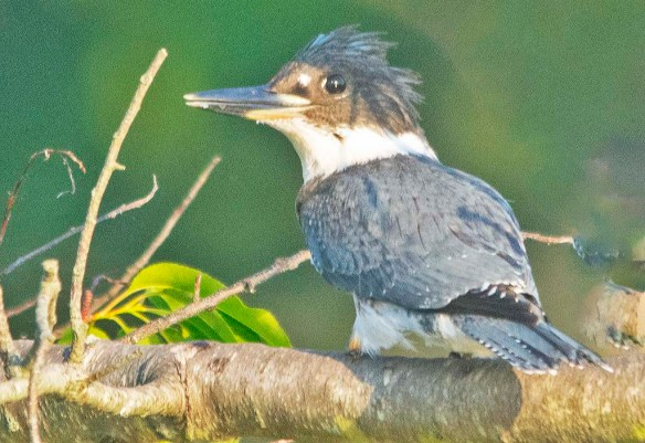 Belted Kingfisher 2020-3