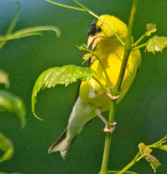 Goldfinch 2020-7