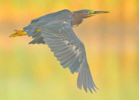 Green Heron 2020-134