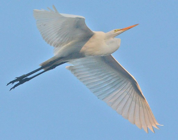 Green Heron 2020-135