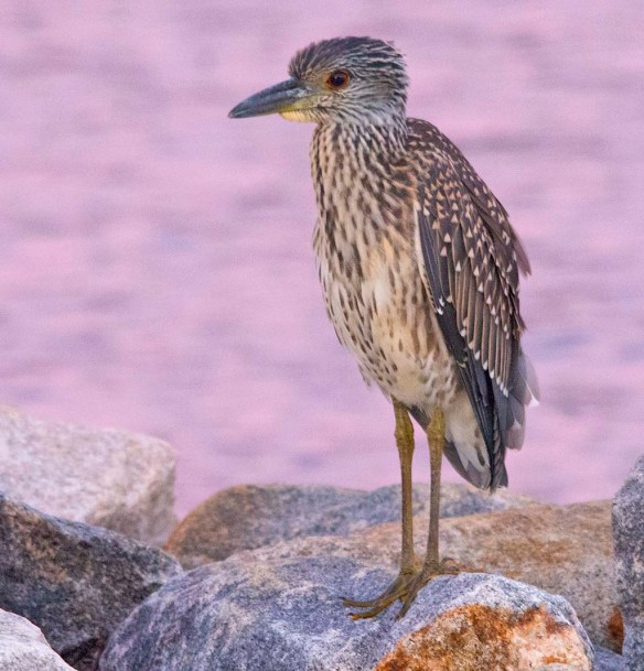 Yellow Crowned Night Heron 2020-1