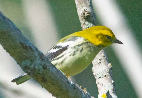 Black Throated Green Warbler 2020-3