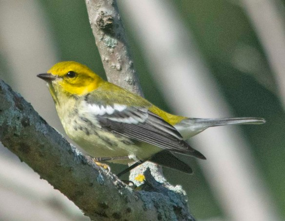 Black Throated Green Warbler 2020-4