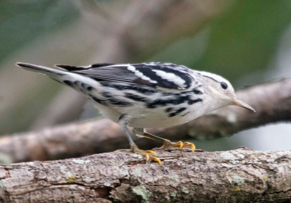 Black and White Warbler 2020-5