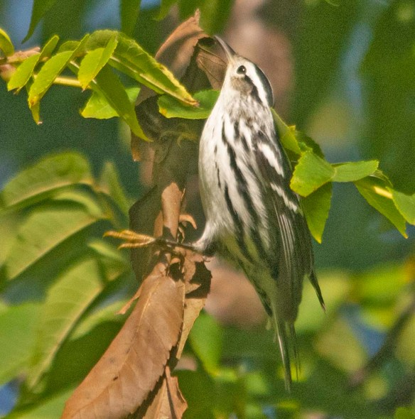 Black and White Warbler 2020-9