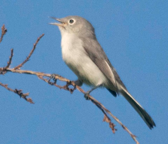 Blue Gray Gnatcatcher 2020-1