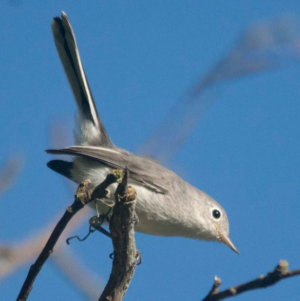 Blue Gray Gnatcatcher 2020-2