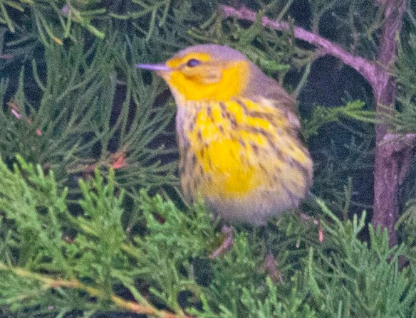 Cape May Warbler 2020-1