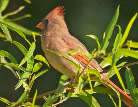Cardinal 2020-7