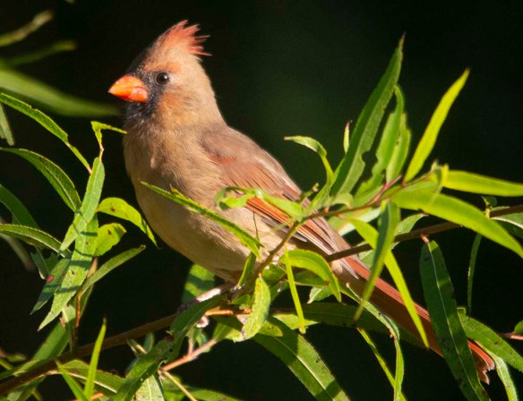 Cardinal 2020-8
