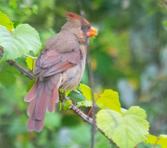 Cardinal 2020-9