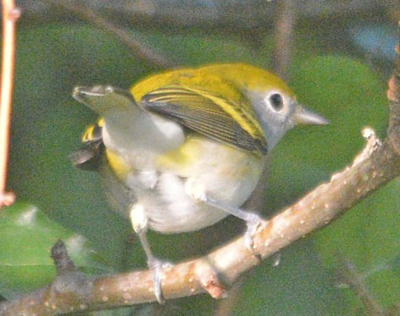 Chesnut Sided Warbler 2020-3