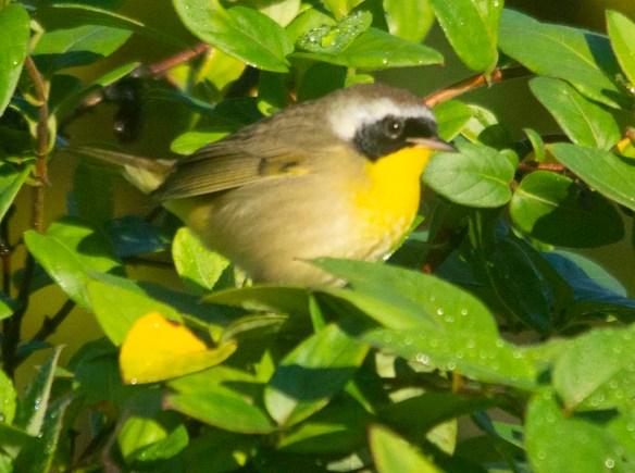 Common Yellowthroat 2020-11